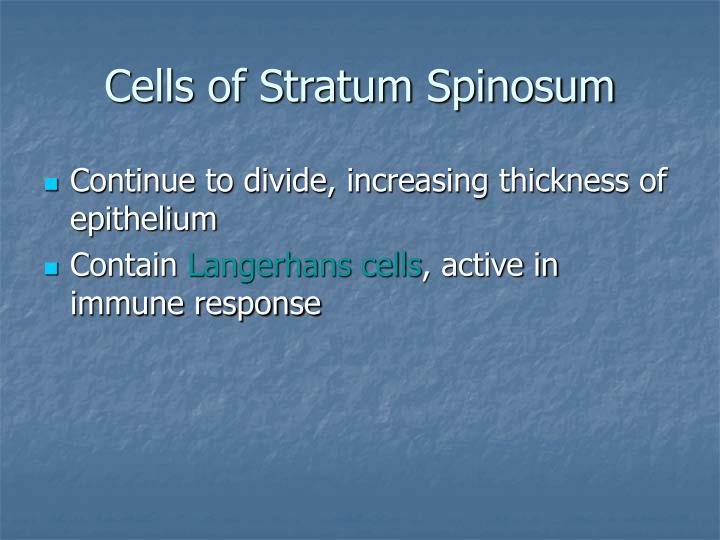 Cells of Stratum Spinosum