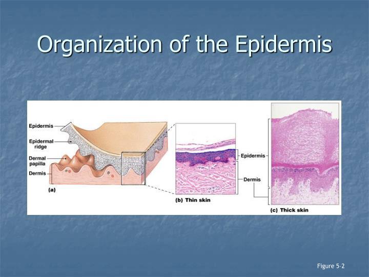 Organization of the Epidermis