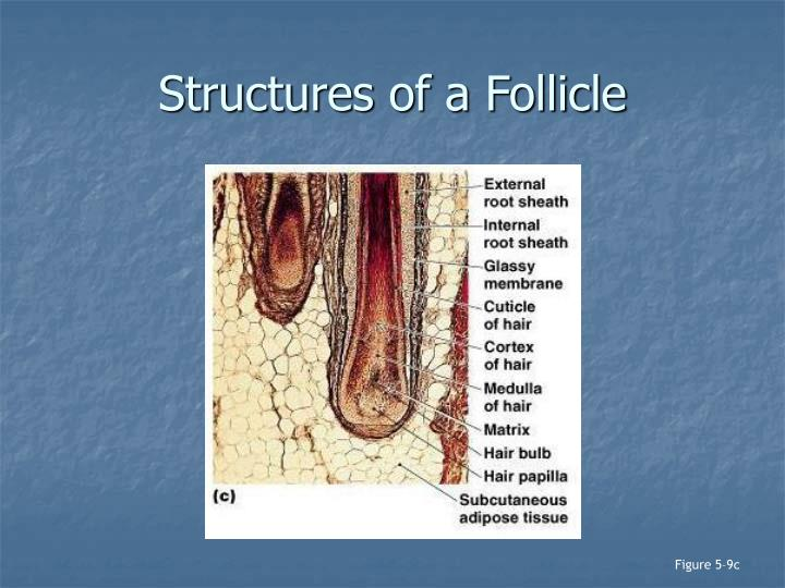 Structures of a Follicle