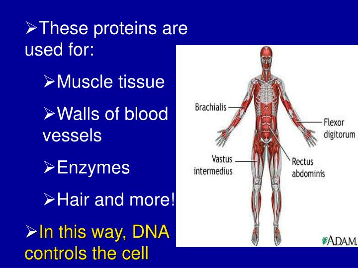These proteins are used for: