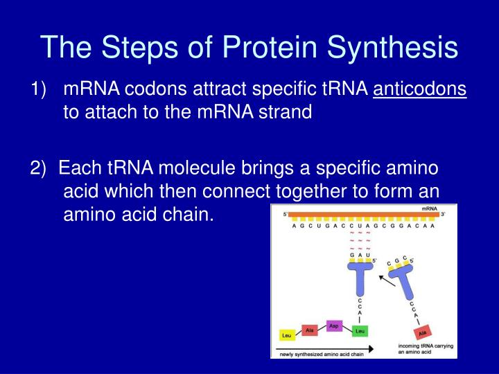 The Steps of Protein Synthesis