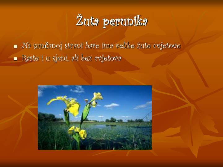 Žuta perunika