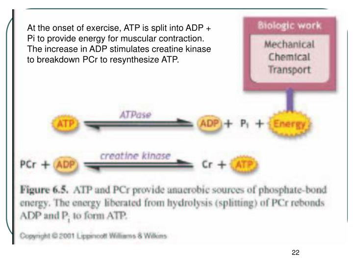 At the onset of exercise, ATP is split into ADP + Pi to provide energy for muscular contraction.  The increase in ADP stimulates creatine kinase to breakdown PCr to resynthesize ATP.