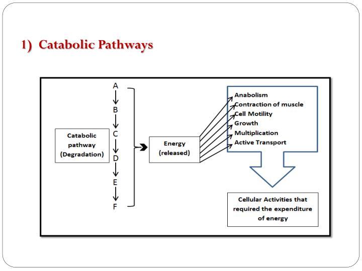 1)  Catabolic