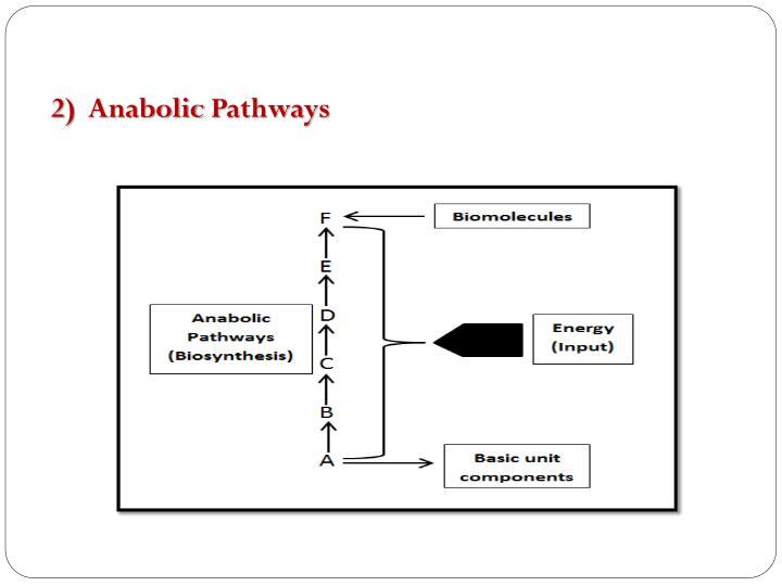 2)  Anabolic