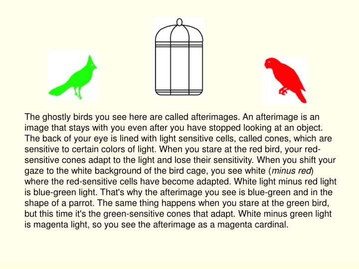 The ghostly birds you see here are called afterimages. An afterimage is an image that stays with you even after you have stopped looking at an object. The back of your eye is lined with light sensitive cells, called cones, which are sensitive to certain colors of light. When you stare at the red bird, your red-sensitive cones adapt to the light and lose their sensitivity. When you shift your gaze to the white background of the bird cage, you see white (