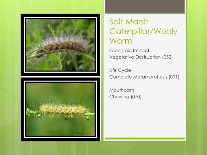 Salt Marsh Caterpillar/Wooly Worm