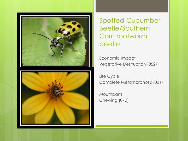 Spotted Cucumber Beetle/Southern Corn rootworm beetle