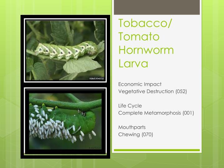 Tobacco/
