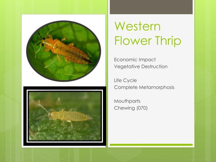 Western Flower