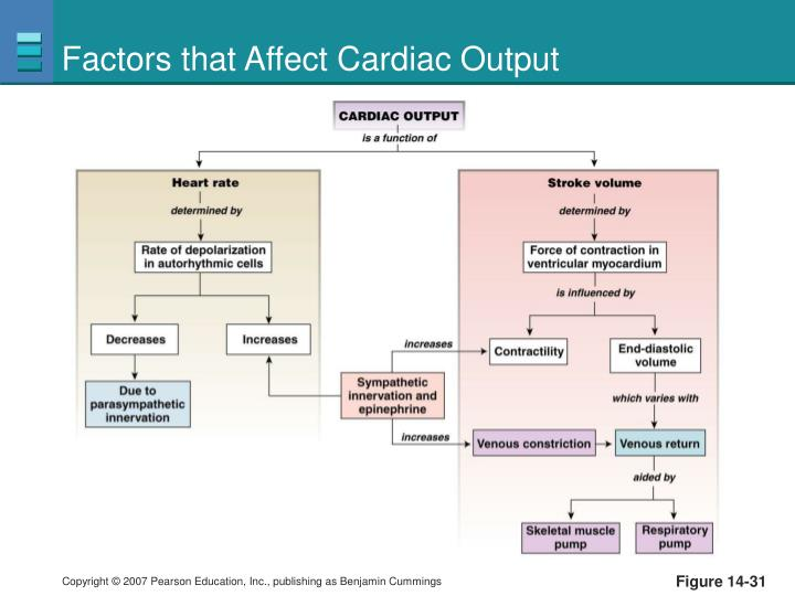 Factors that Affect Cardiac Output