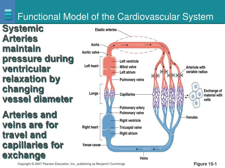 Functional model of the cardiovascular system