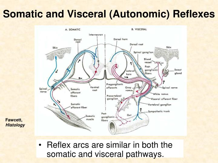 Somatic and Visceral (Autonomic) Reflexes
