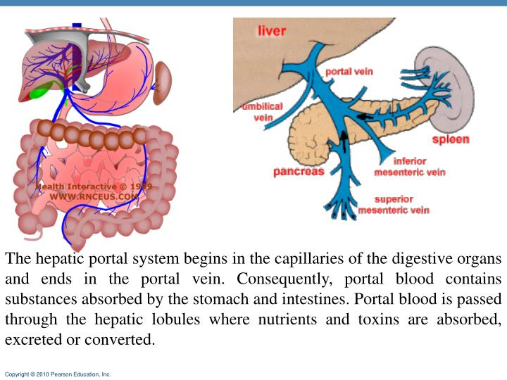 The hepatic portal system begins in the capillaries of the digestive organs and ends in the portal vein. Consequently, portal blood contains substances absorbed by the stomach and intestines. Portal blood is passed through the hepatic lobules where nutrients and toxins are absorbed, excreted or converted.