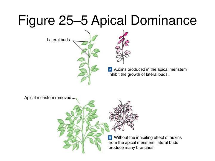 Figure 25–5Apical Dominance