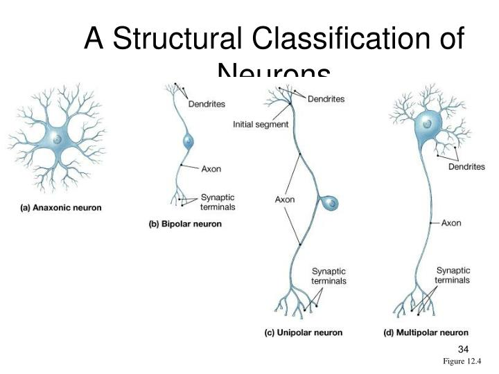 A Structural Classification of Neurons