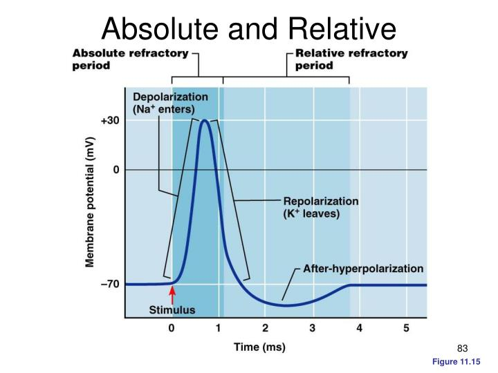 Absolute and Relative Refractory Periods