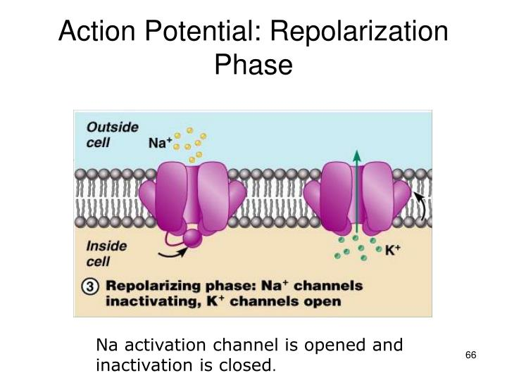 Action Potential: Repolarization Phase
