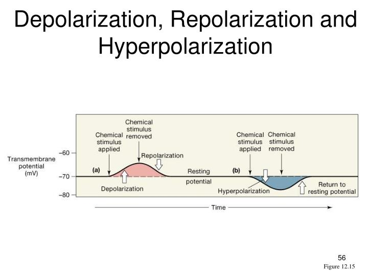 Depolarization, Repolarization and Hyperpolarization