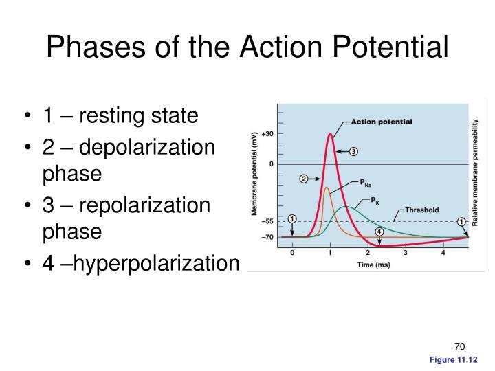 Phases of the Action Potential