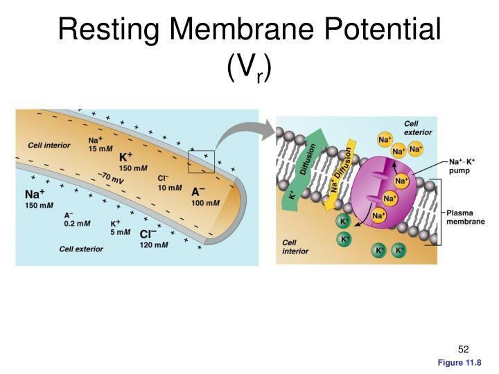 Resting Membrane Potential (V