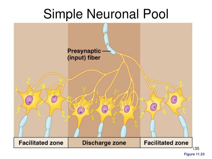 Simple Neuronal Pool