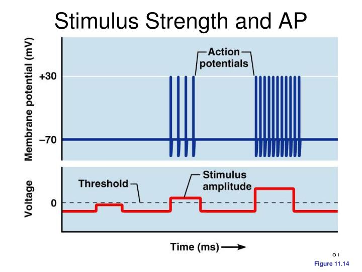 Stimulus Strength and AP Frequency