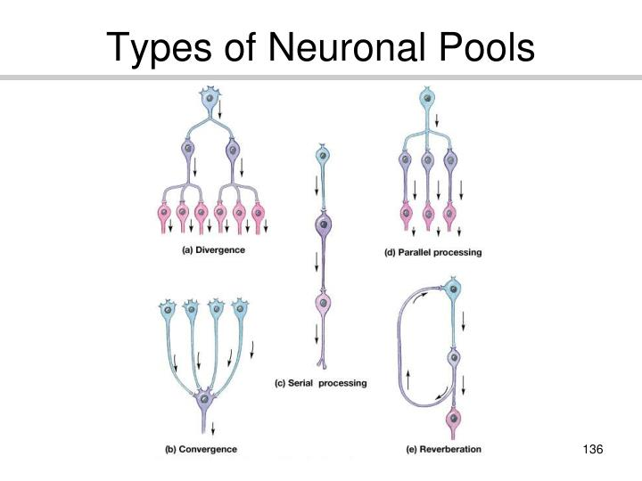 Types of Neuronal Pools