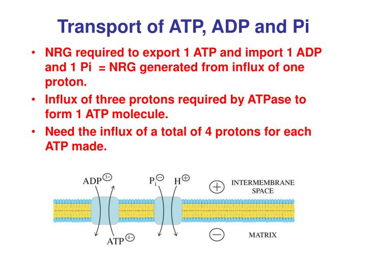 Transport of ATP, ADP and Pi