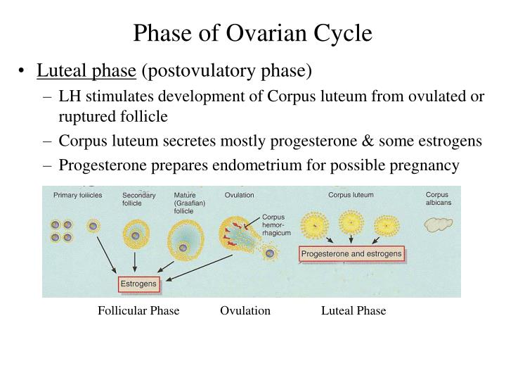 Phase of Ovarian Cycle