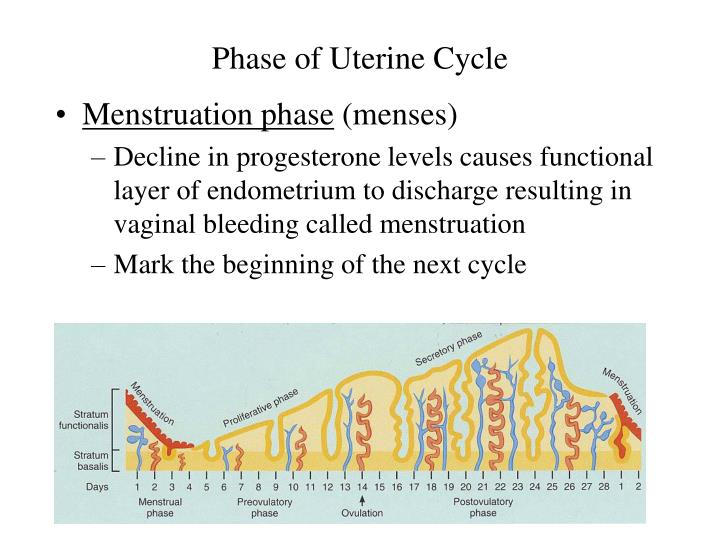 Phase of Uterine Cycle
