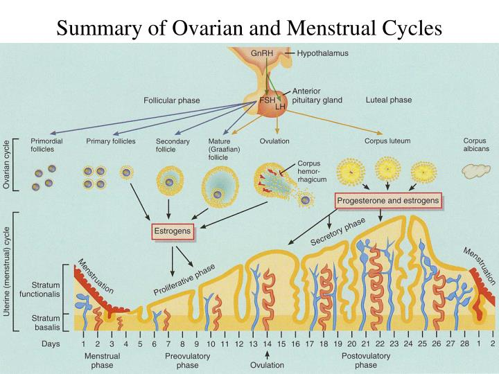 Summary of Ovarian and Menstrual Cycles