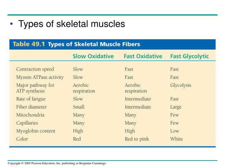 Types of skeletal muscles