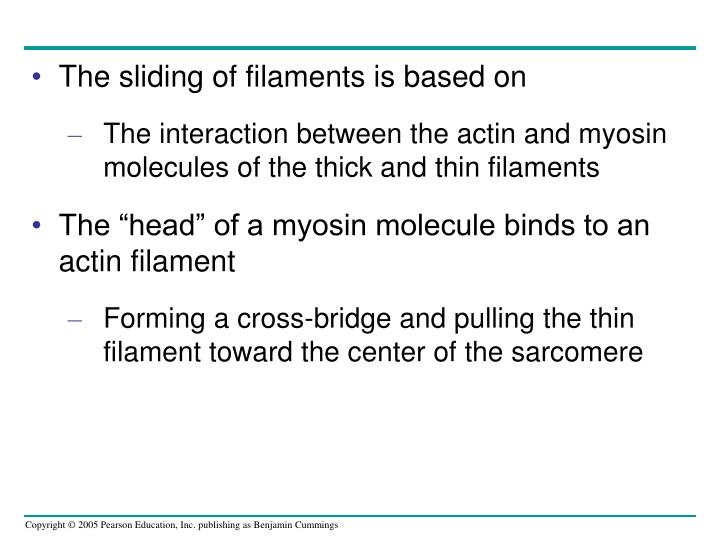 The sliding of filaments is based on