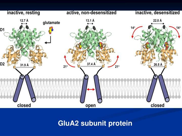 GluA2 subunit protein