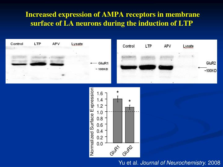 Increased expression of AMPA receptors in membrane surface of LA neurons during the induction of LTP