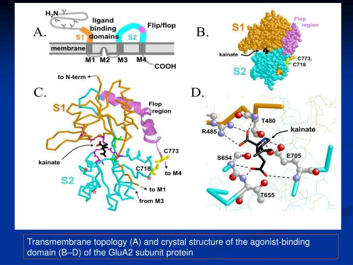 Transmembrane topology (A) and crystal structure of the agonist-binding domain (B–D) of the GluA2 subunit protein