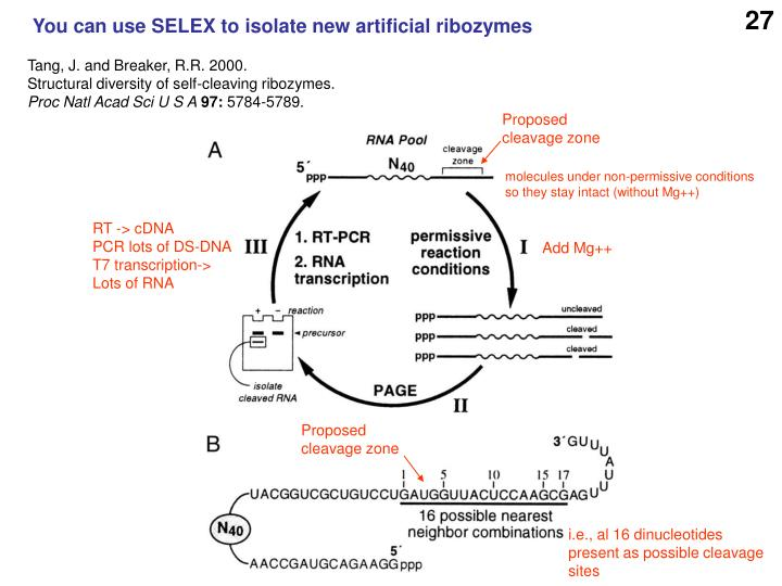 You can use SELEX to isolate new artificial ribozymes
