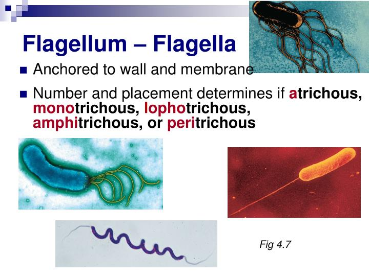 Flagellum – Flagella
