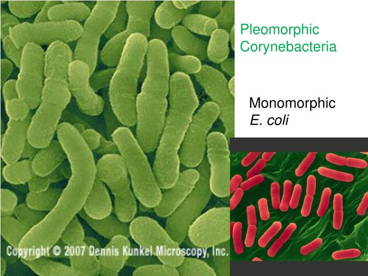 Pleomorphic Corynebacteria