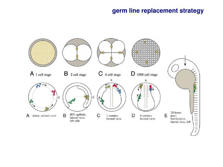 germ line replacement strategy