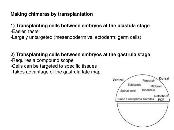 Making chimeras by transplantation