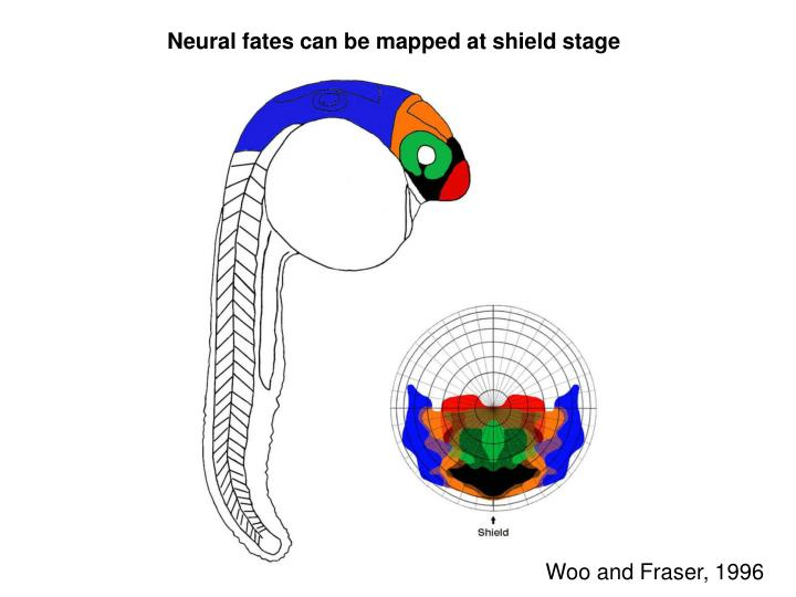 Neural fates can be mapped at shield stage