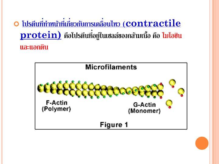 โปรตีนที่ทำหน้าที่เกี่ยวกับการเคลื่อนไหว (