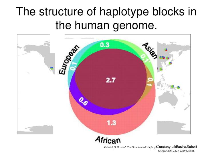 The structure of haplotype blocks in the human genome.