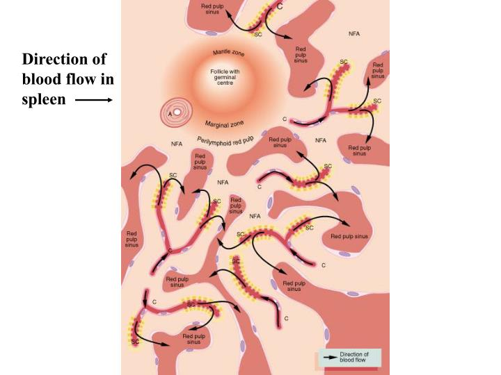 Direction of blood flow in spleen