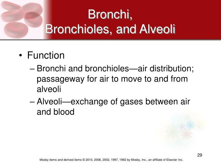 Bronchi,