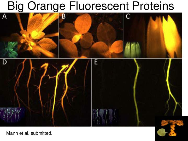 Big Orange Fluorescent Proteins