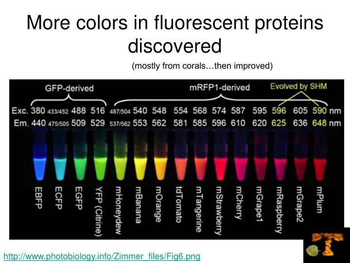 More colors in fluorescent proteins discovered