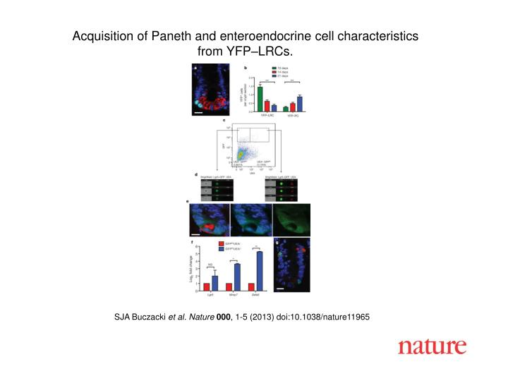 Acquisition of Paneth and enteroendocrine cell characteristics